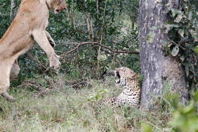 Khoảnh khắc kinh hoàng của báo hoa mai khi bị sư tử bất ngờ tập kích - Ảnh 4.
