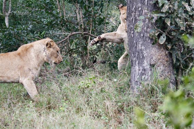 Khoảnh khắc kinh hoàng của báo hoa mai khi bị sư tử bất ngờ tập kích - Ảnh 5.