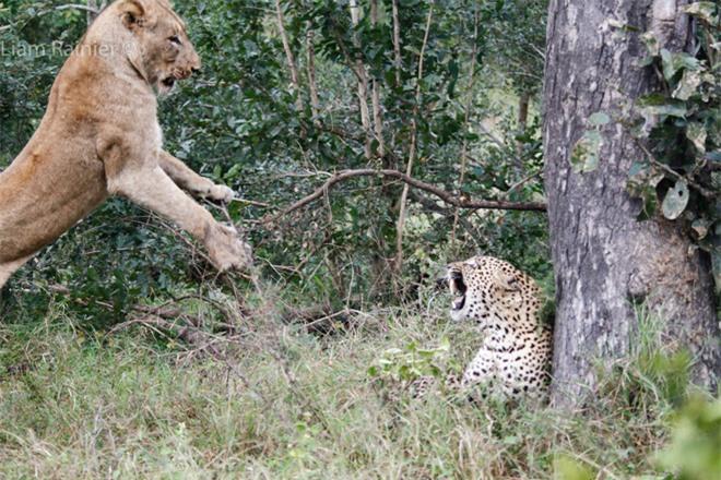 Khoảnh khắc kinh hoàng của báo hoa mai khi bị sư tử bất ngờ tập kích - Ảnh 6.