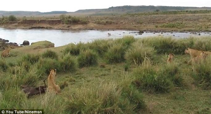 Đám sư tử đói rình rập chờ con mồi