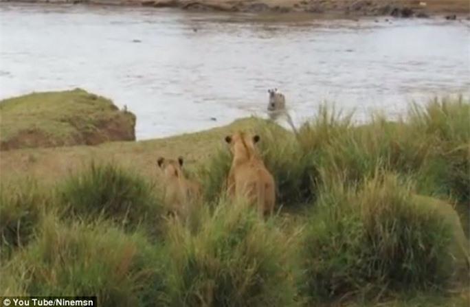 Sư tử chỉ cách con mồi vài mét