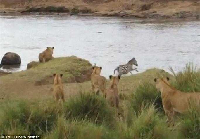 Ngựa vằn kịp phát hiện và quay đầu chạy