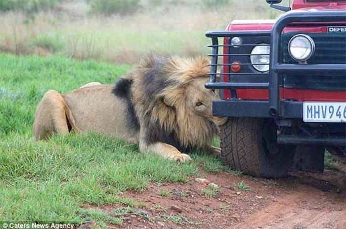 Sư tử gặm bánh xe suốt 1 giờ đồng hồ. Ảnh: Caters News Agency