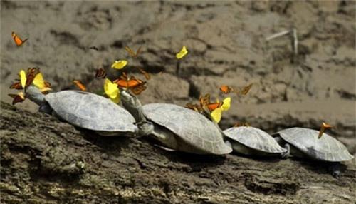 Loài bướm uống nước mắt rùa - 1