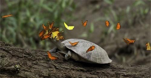 Loài bướm uống nước mắt rùa - 2