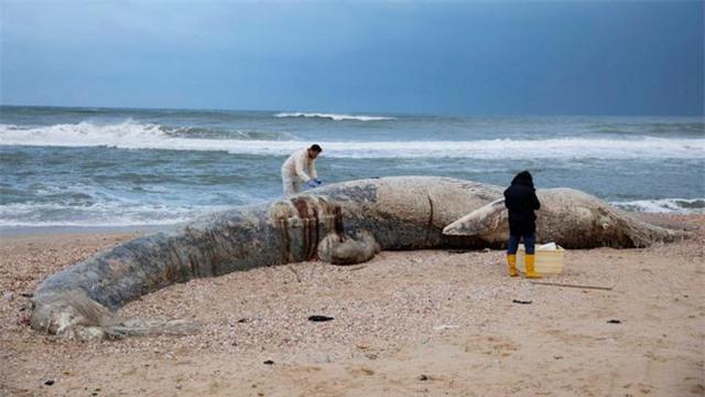 Xác cá voi, rùa biển đen sì bởi hàng chục tấn hắc ín trôi nổi trên biển tại Israel - Ảnh 2.