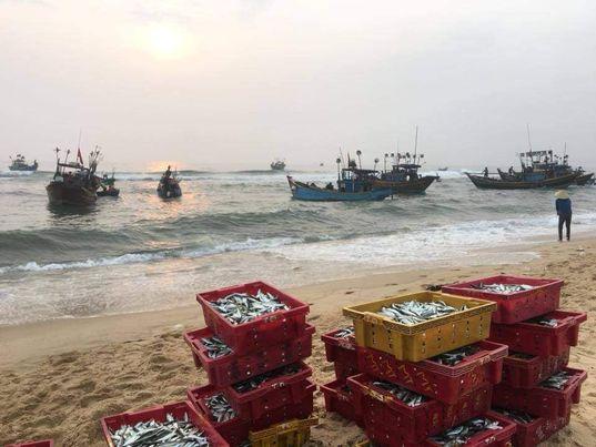 Cá thu hoạch sau chuyến ra khơi của ngư dân- Hải sản ở vùng này ngon và ngọt.