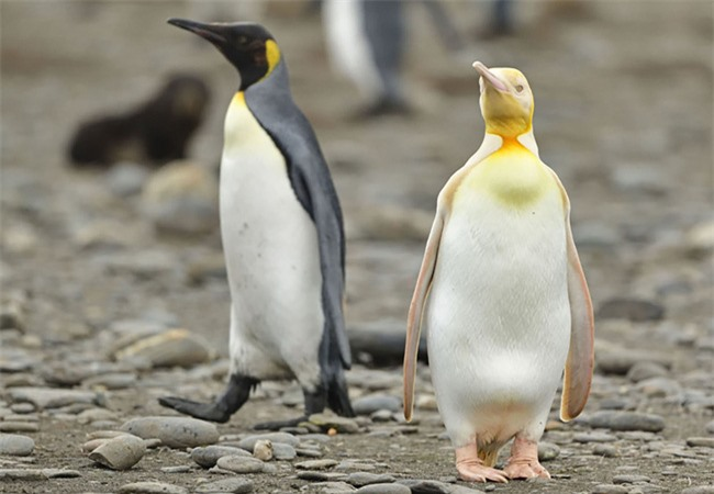 """Sau hải cẩu lông vàng đáng yêu như pikachu, đây chính là thành viên mới nhất của hội động vật """"màu lạ"""" siêu hiếm trên thế giới - Ảnh 1."""