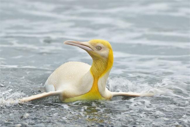 """Sau hải cẩu lông vàng đáng yêu như pikachu, đây chính là thành viên mới nhất của hội động vật """"màu lạ"""" siêu hiếm trên thế giới - Ảnh 2."""