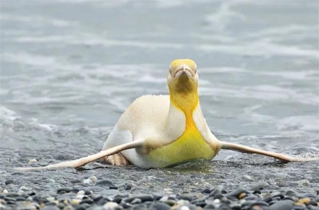 """Sau hải cẩu lông vàng đáng yêu như pikachu, đây chính là thành viên mới nhất của hội động vật """"màu lạ"""" siêu hiếm trên thế giới - Ảnh 3."""