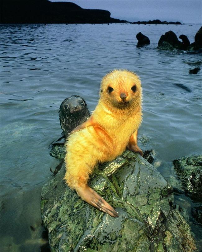 """Sau hải cẩu lông vàng đáng yêu như pikachu, đây chính là thành viên mới nhất của hội động vật """"màu lạ"""" siêu hiếm trên thế giới - Ảnh 5."""