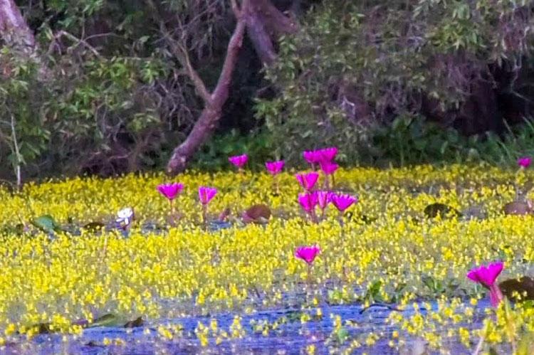 'Lạc bước' trên dòng sông hoa vàng ở Đồng Tháp