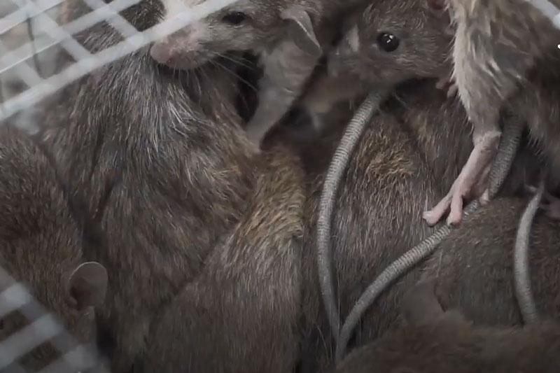 CLIP: Theo chân người nông dân đi săn chuột rừng ở Cà Mau