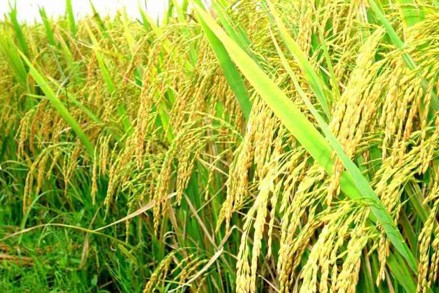 Giá lúa tăng cao, doanh nghiệp xuất khẩu khó đàm phán hợp đồng