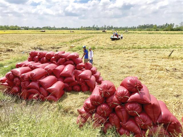 Giá lúa tăng cao, DN xuất khẩu khó đàm phán hợp đồng - Ảnh 1.