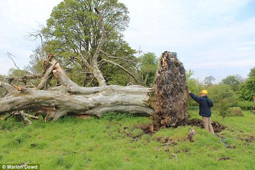Tìm thấy bộ xương Trung cổ bí ẩn dưới gốc cây đại thụ