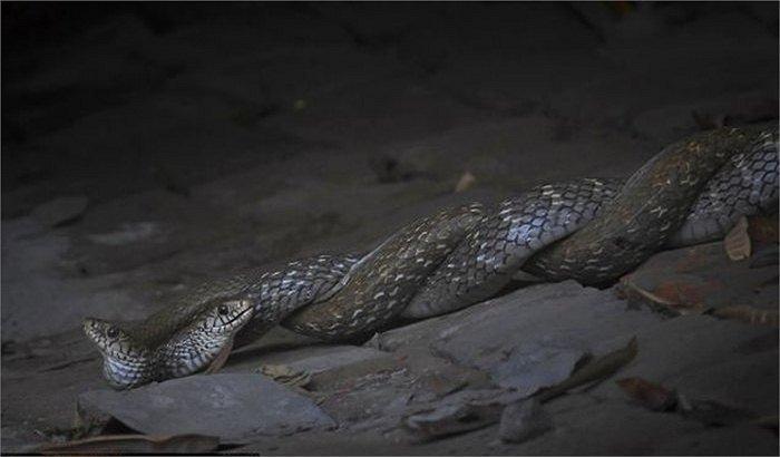 Vũ điệu 'Thần chết' trong rừng già Ấn Độ