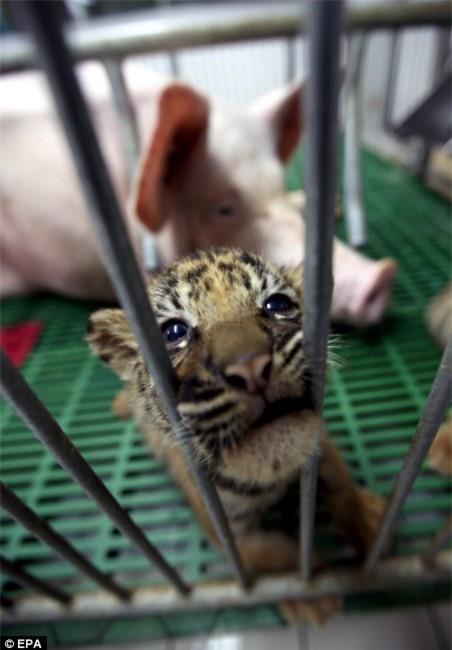 """Hổ con sắp chết đói vì không có sữa mẹ liền được đưa vào sống chung với """"mẹ lợn"""" và thái độ của nó khi trưởng thành khiến ai cũng bất ngờ - Ảnh 1."""