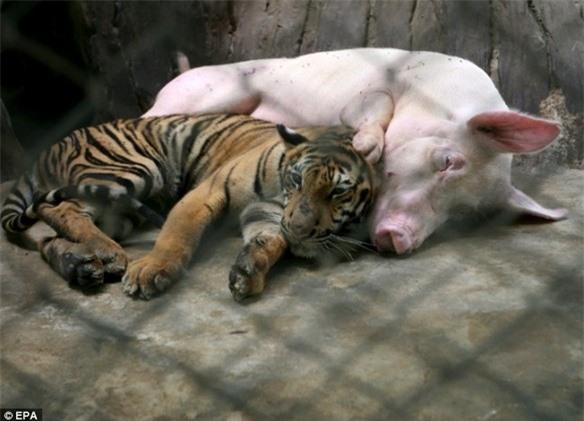 """Hổ con sắp chết đói vì không có sữa mẹ liền được đưa vào sống chung với """"mẹ lợn"""" và thái độ của nó khi trưởng thành khiến ai cũng bất ngờ - Ảnh 4."""