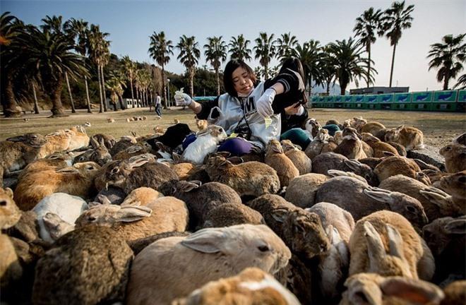 """Người dân gọi đảo Okunoshima, Nhật Bản là """"đảo thỏ"""". Nơi đây từng là một cơ sở sản xuất vũ khí hóa học bí mật của quân đội Nhật Bản, chính quyền mang thỏ ra đảo trong quá khứ để thử nghiệm các chất độc. Cơ sở đã đóng cửa năm 1945, nhưng số lượng thỏ ngày càng tăng lên. Người dân cho biết hàng trăm con thỏ đang sống trên đảo hiện nay và trở thành nét độc đáo của địa phương."""