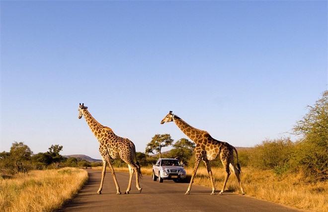 Công viên quốc gia Kruger ở Nam Phi được xem là mảnh đất thần tiên của động vật hoang dã, với 507 các loài chim và 147 loài động vật có vú sinh sống tại đây. Công viên cũng là nhà của các loài thú lớn như sử tử, voi, trâu, báo, tê giác, ngựa vằn, hươu cao cổ, hà mã và linh cẩu.