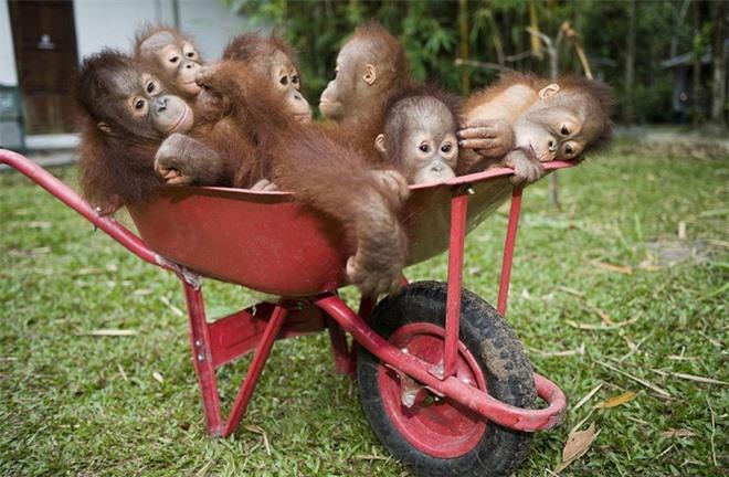Đười ươi thông minh là loài động vật nổi tiếng nhất trên đảo Borneo. Người ta có thể bắt gặp chúng khi đi tản bộ trong rừng hoặc viếng thăm những trung tâm phục hồi chức năng trên đảo. Do nạn khai thác gỗ lậu, săn bắt và chuyển đổi đất sang đất nông nghiệp nên số lượng đười ươi trên đảo giảm đáng kể trong 50 năm qua. Chính quyền đảo thành lập rất nhiều khu bảo tồn thiên nhiên để chăm sóc đười ươi và các loài vật hoang dã khác.