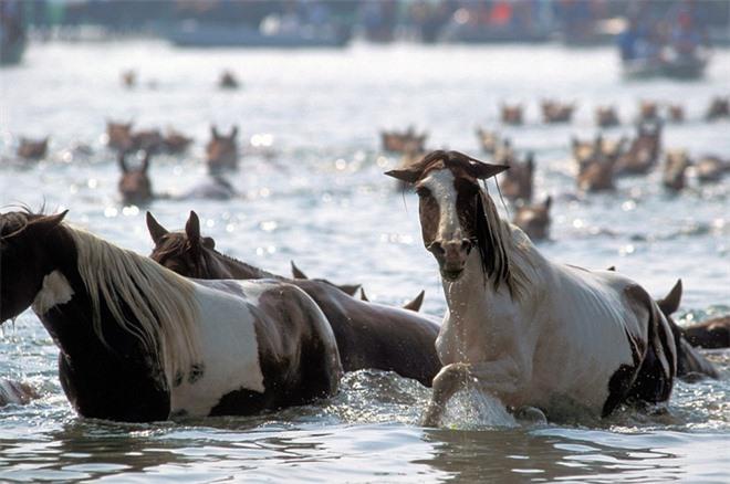 Đảo Assateague, Mỹ, cách Maryland và Virginia khoảng 60km, là nhà của hơn 300 con ngựa. Chúng được cho là chạy đến đảo sau khi sống sót trong từ một vụ đắm tàu. Một giả thuyết khác là người dân mang ngựa ra đảo từ thế kỉ 17. Cách tốt nhất để xem những chú ngựa là đi thuyền kayak dọc theo tuyến đường thủy của đảo.