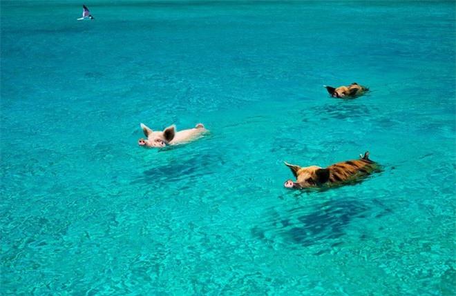 Lợn sinh sống rất đông trên đảo Exuma thuộc Bahamas. Người dân kể rằng chúng do một nhóm thủy thủ mang đến và để lại đảo như nguồn thực phẩm dự trữ. Tuy nhiên, nhóm thủy thủ này không bao giờ quay trở lại, do vậy những con lợn tự tìm cách sinh tồn và phát triển trên đảo. Chúng thông minh nhận ra nguồn thức ăn do các du thuyền đổ xuống biển rất nhiều. Những con lợn này bơi rất giỏi và không sợ người.