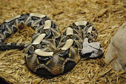 Cận cảnh con rắn hổ lục Gaboon.