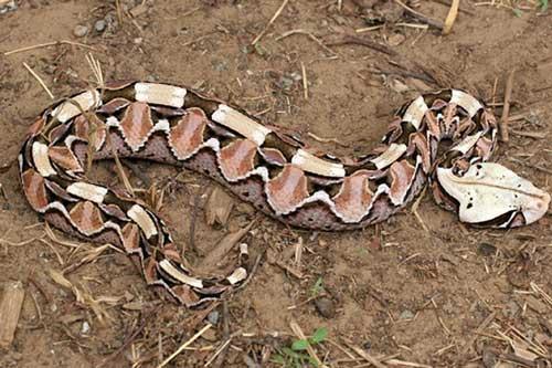 CLIP: Loài rắn kịch độc có thân hình béo ú và cách di chuyển kì dị