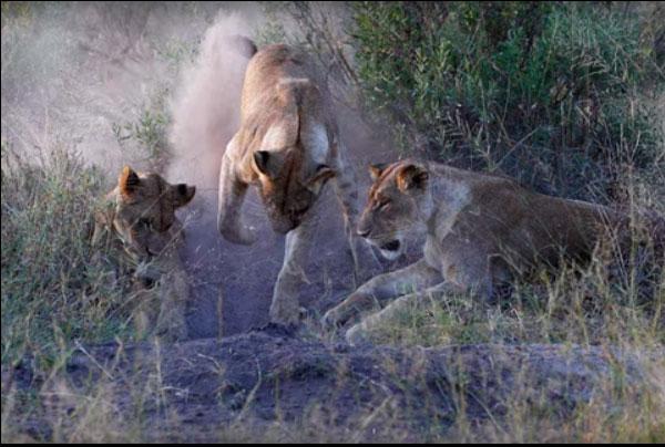 Bầy sư tử đào hang, lôi lợn rừng lên chén thịt