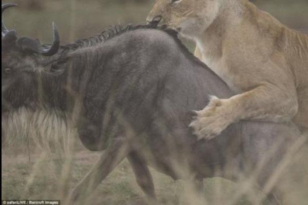 Pha săn linh dương đầu bò ngoạn mục của sư tử cái
