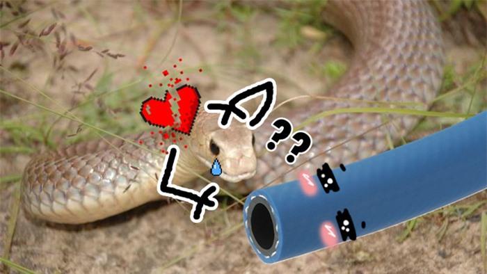 Chú rắn tội nghiệp mải mê mây mưa với ống nước thì bị bắt đi trong sự rối bời khôn tả - Ảnh 2.