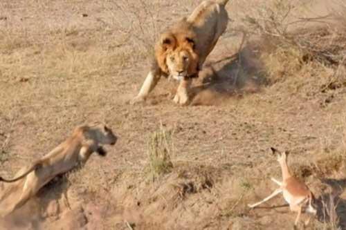 Linh dương quyết định chạy vào giữa hai kẻ săn mồi để trốn thoát.
