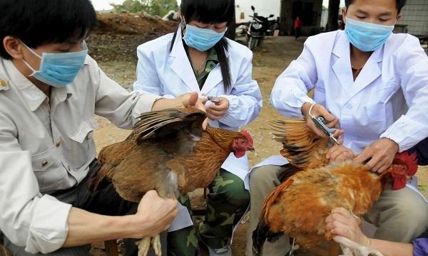 Khuyến cáo đề cao cảnh giác lây nhiễm Cúm A từ gia cầm sang người