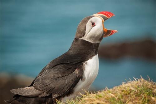 Đến Iceland làm bạn với chim biển - 11