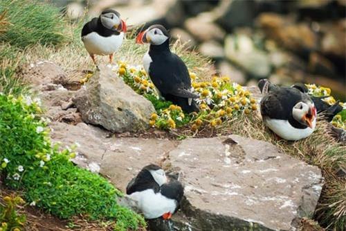 Đến Iceland làm bạn với chim biển - 12