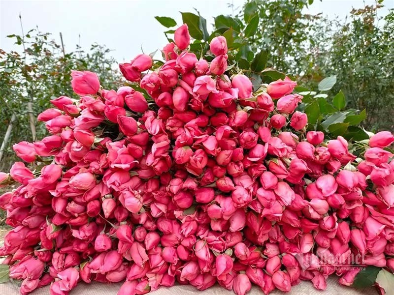 Hoa hồng tăng giá gấp 5, dân buôn tranh mua nhà vườn cháy hàng