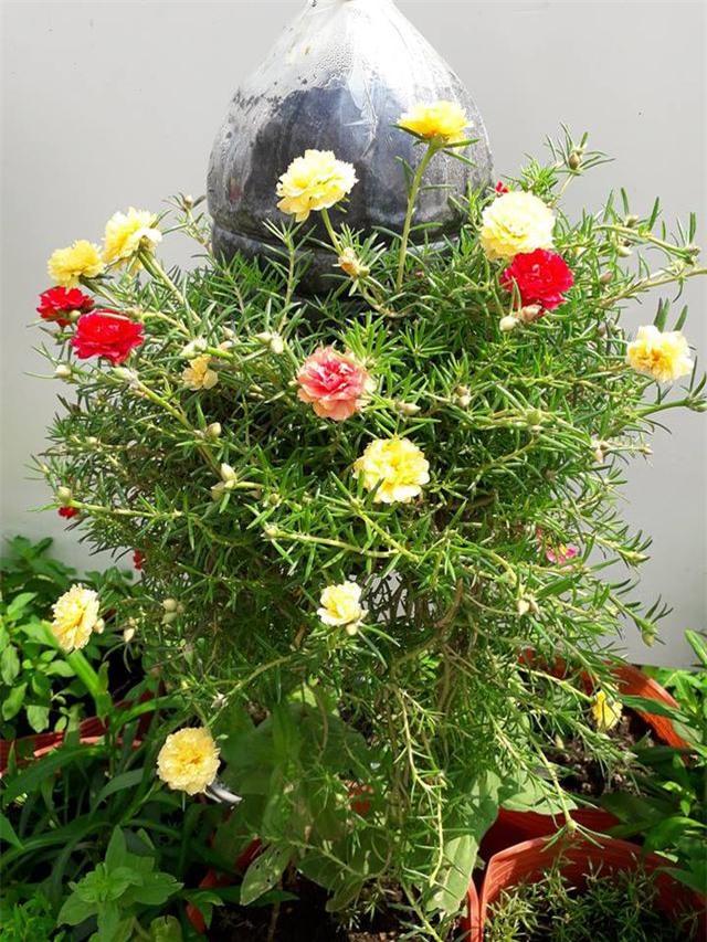 Hoa mười giờ thì chẳng lạ gì, nhưng chỉ cần biến tấu một chút đảm bảo góc vườn của bạn sẽ vô cùng độc đáo, ai nhìn cũng mê! - Ảnh 2.