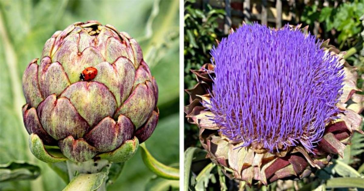 Hình ảnh thú vị của những bông hoa atiso khi nở rộ.