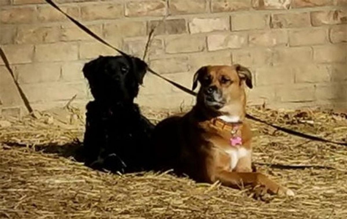 Chú chó đen ngồi cạnh trông như một cái bóng của chú chó nâu.
