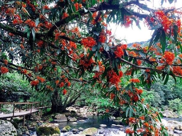 Hoa vàng Anh bung nỡ bên bờ suối suối Mooc - Quảng Bình