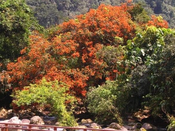 Hoa Vàng Anh bung nỡ, khiến cảnh sắc của núi rừng càng thêm rực rỡ
