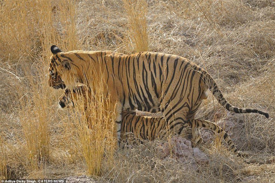 Hổ Bengal hung dữ thất bại ê chề trước gấu mẹ trong nỗ lực bảo vệ con