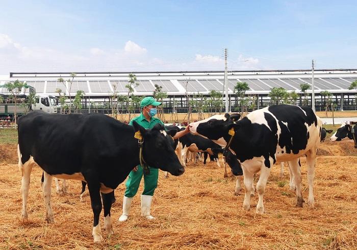 Bò sữa được đi dạo trong khu sân chơi được trải đệm rơm tại Trang trại Vinamilk Quảng Ngãi.  HOẶC: Khu vực sân chơi riêng dành cho đàn bò sữa tại trang trại được trải một lớp rơm làm đệm giúp bò thoải mái vận động.