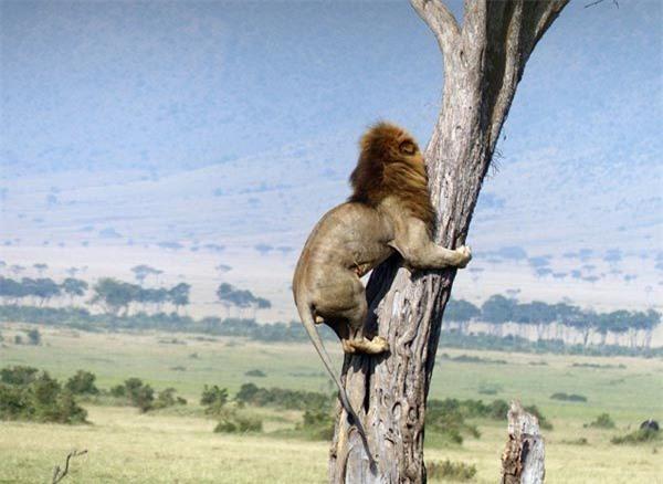 Sư tử đực sợ hãi trèo cây trốn đàn trâu dữ