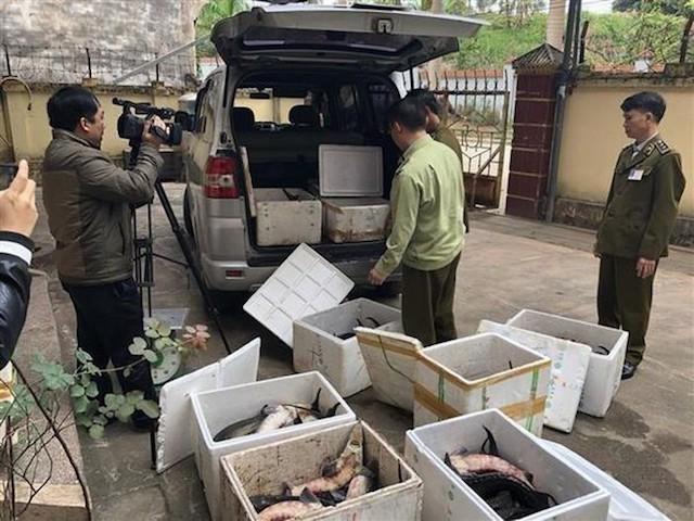 Lực lượng chức năng phát hiện vụ nhập lậu cá tầm.