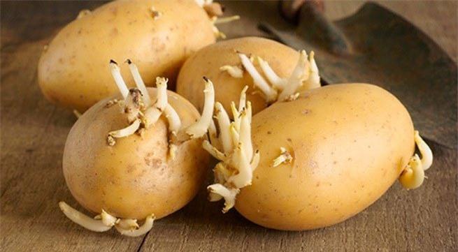 Khoai tây mọc mầm rất độc