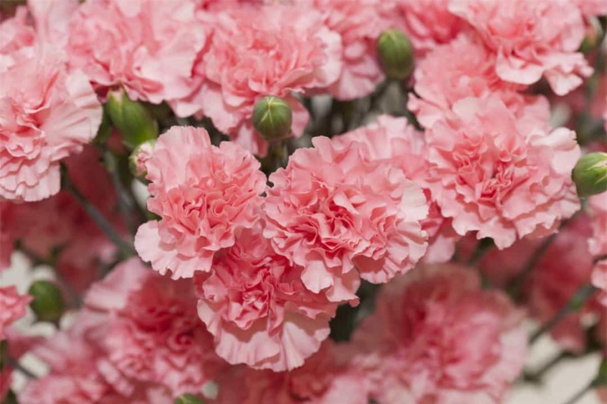 Hoa cẩm chướng: Hoa cẩm chướng từng đại diện cho những thông điệp mật được mã hóa thời Victoria. Ngày nay, loài hoa này thường xuất hiện trong Ngày của Mẹ hoặc lễ cưới.