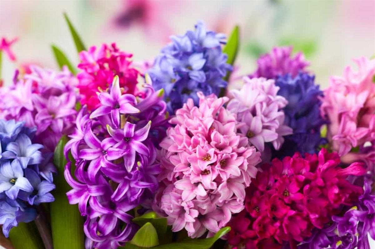 Dạ Lan Hương: Loài hoa này có thể tượng trưng cho sự ghen tỵ hoặc chân thành, tùy thuộc vào màu sắc của nó.